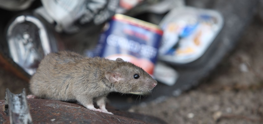 Rats in the bins call a bpca member