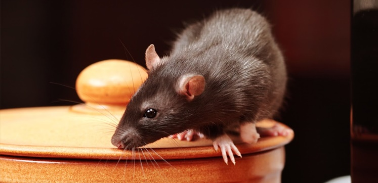 Rats and the hospitality industry