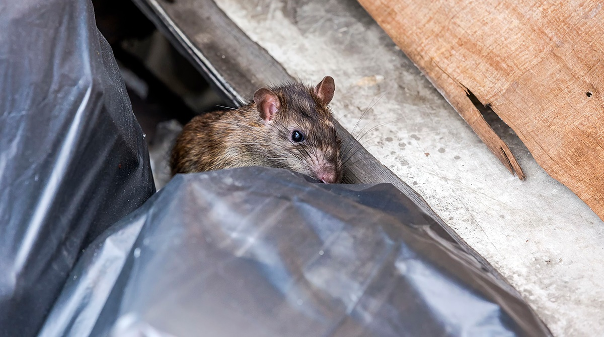Rats around food waste