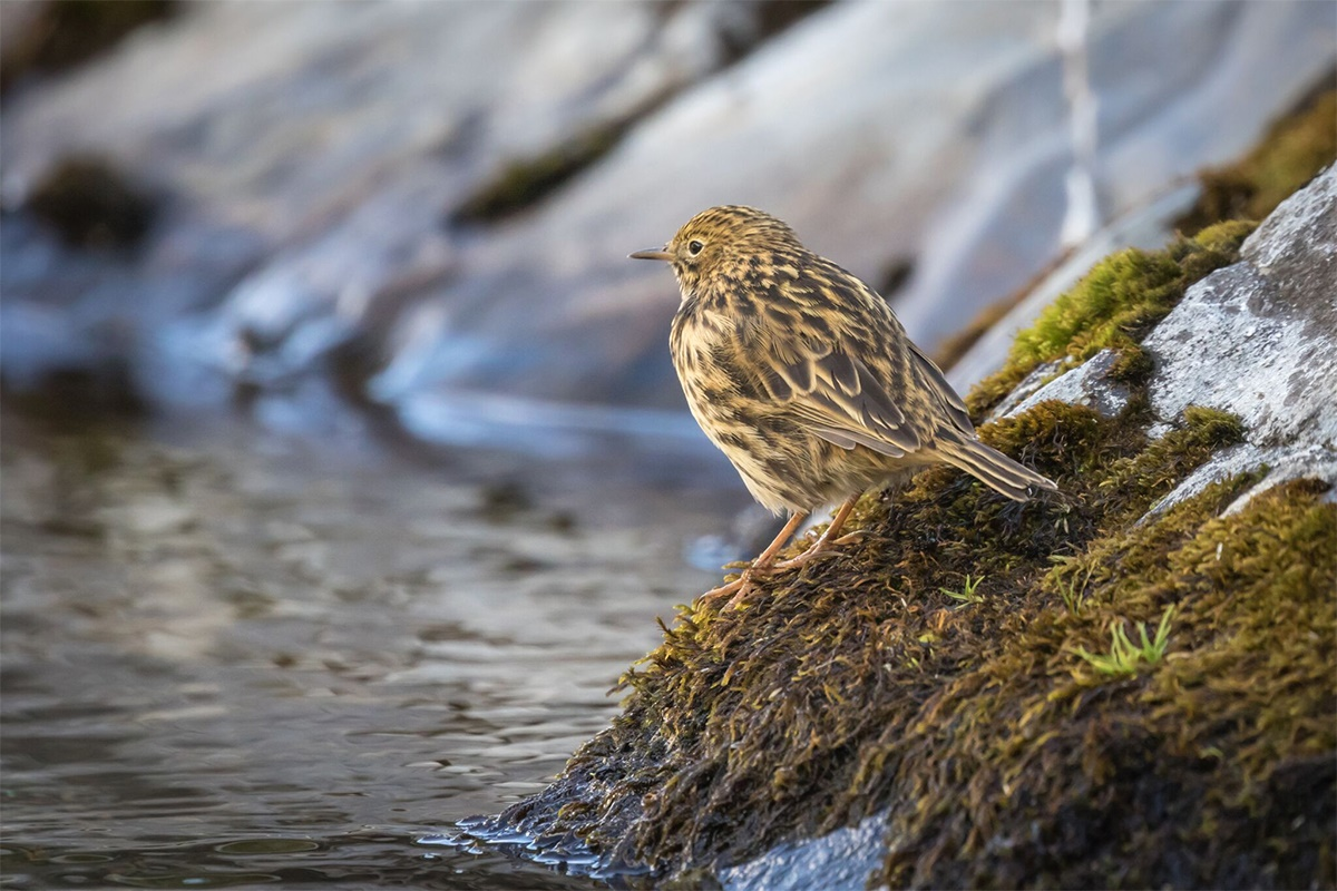 South Georgia pipit (Anthus antarcticus) – the world's most southerly songbird. Credit Oli Prince