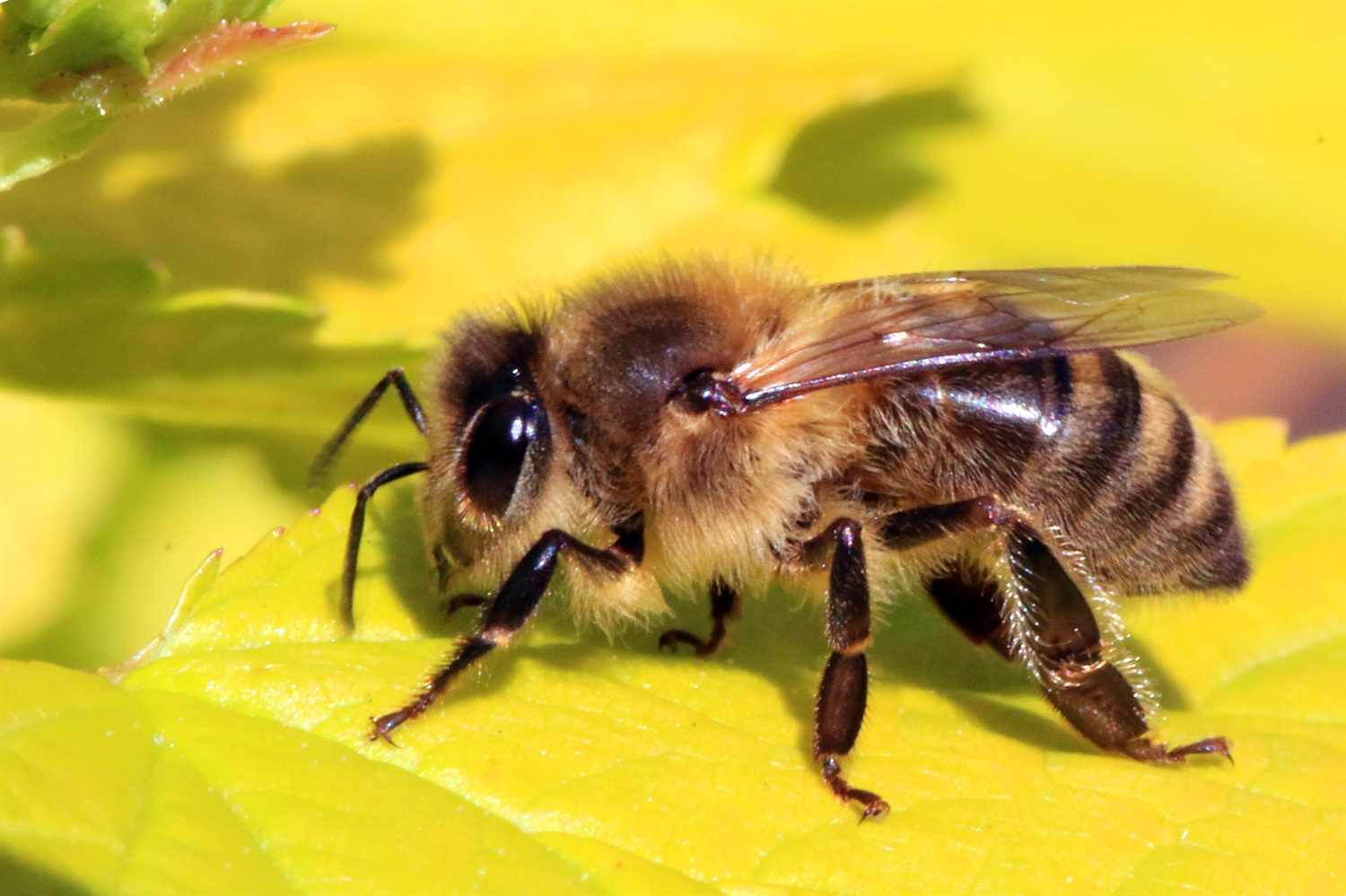 Honey bee (Apis mellifera). Credit: Sharp Photography