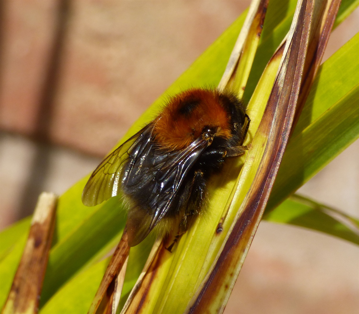 Tree Bee, Bombus hypnorum. Credit: Gailhampshire