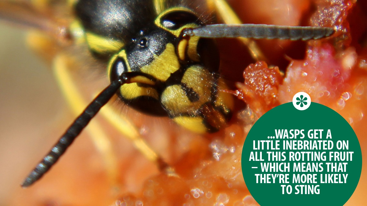 wasps get a little inebriated on all this rotting fruit – which means that they're more likely to sting