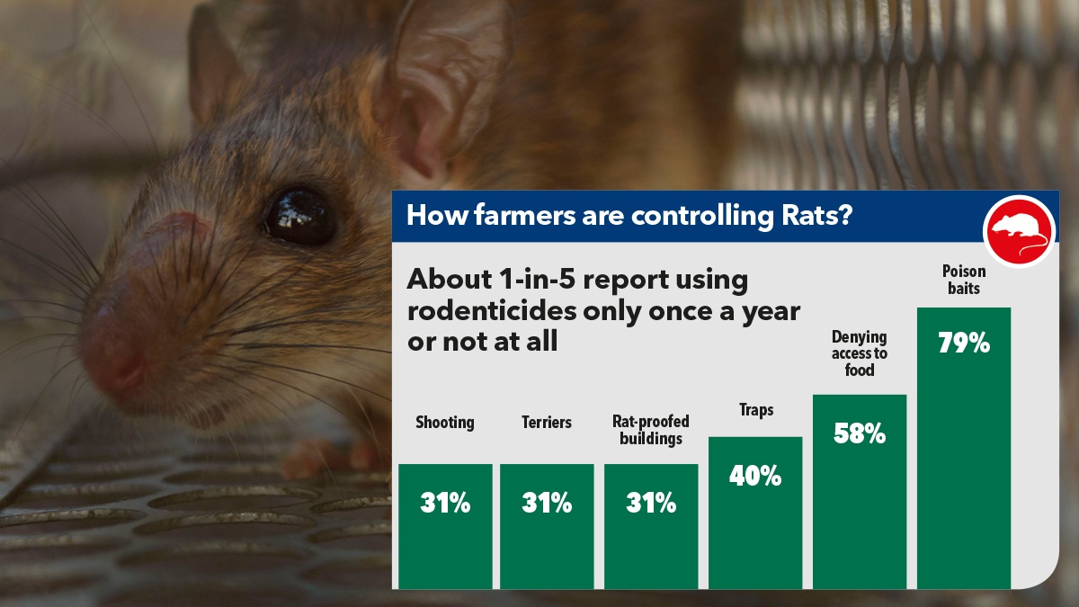 How are farmers controlling rats