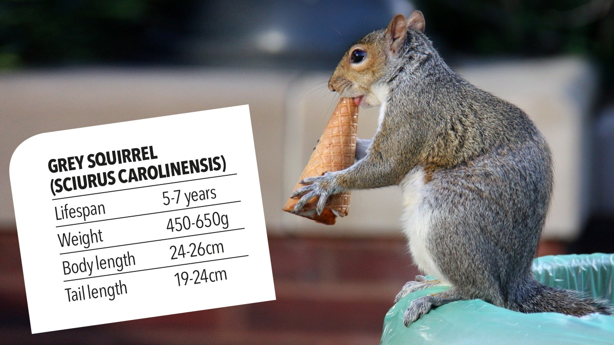 Grey squirrel lifespan weight body length tail length