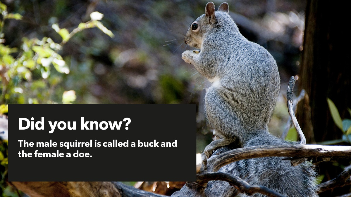 Pest advice for controlling Grey Squirrels
