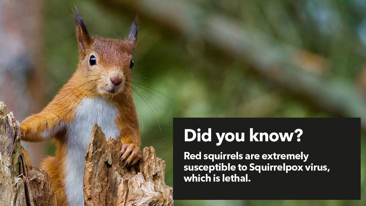 Red squirrels are extremely susceptible to Squirrelpox virus, which is lethal
