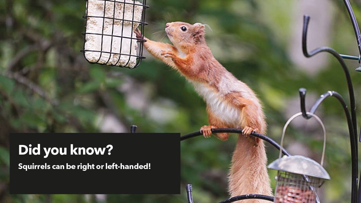 Squirrels can be right or left handed