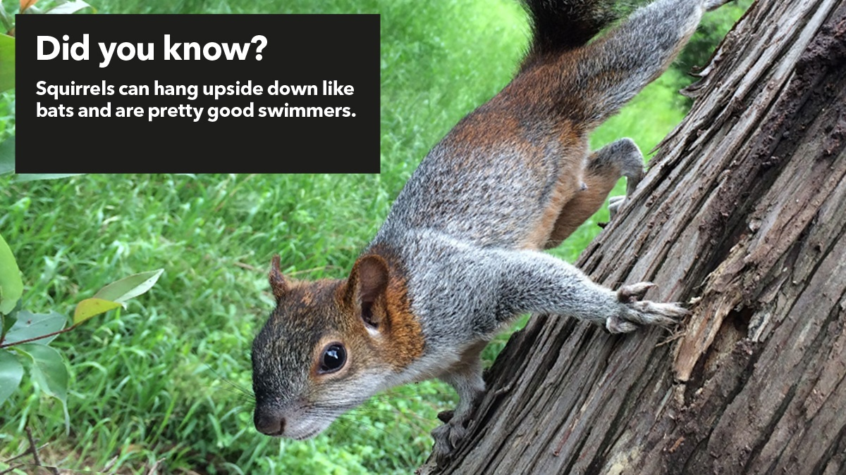 Squirrels can hang upside down and are good swimmers