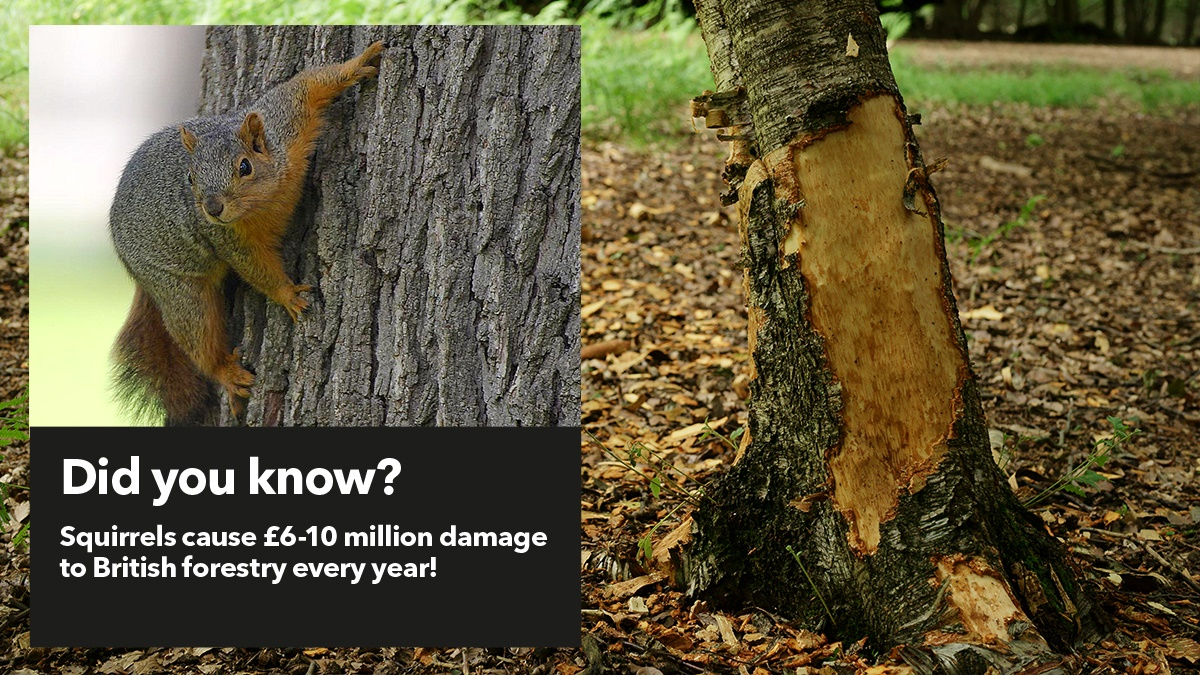 Squirrels cause 6-10 million damage to British forestry every year