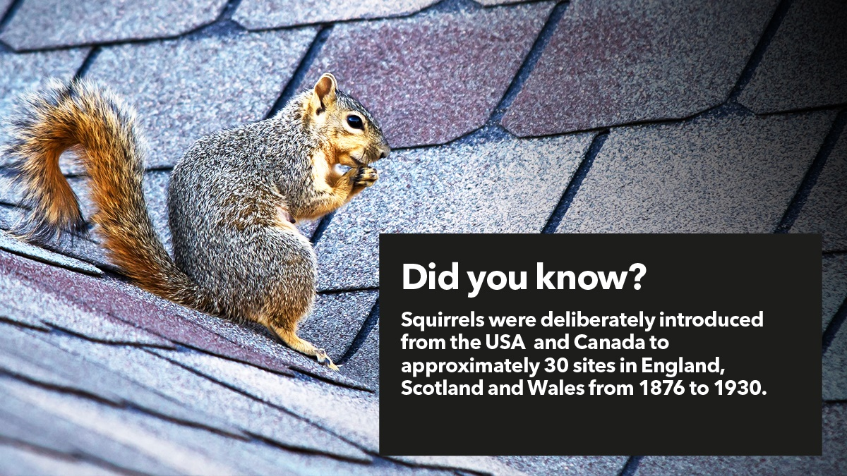 Squirrels in the UK are invasive species