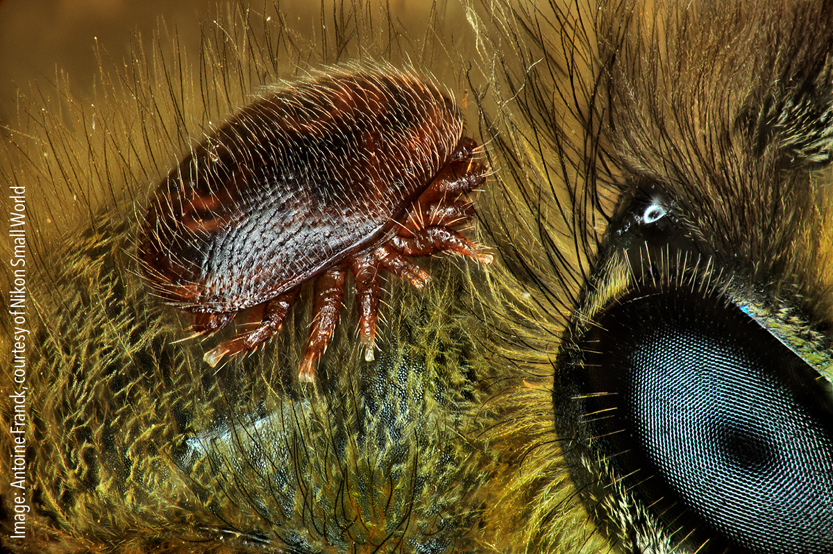 Varroa destructor (mite) on the back of Apis mellifera (honeybee). Focus stacking, 1x (objective lens magnification)