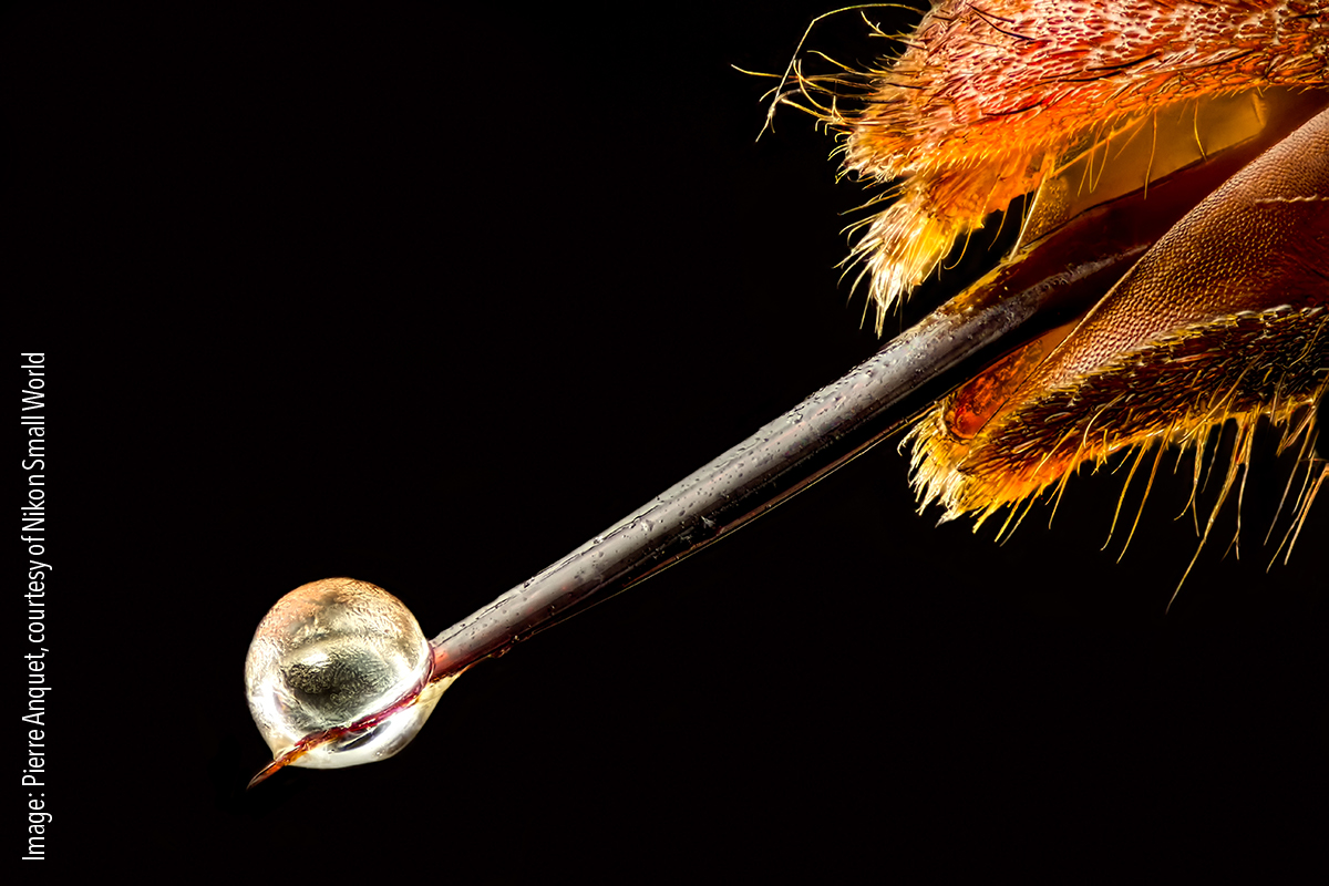 Vespa velutina (Asian hornet) with venom on its stinger. Reflected Light, Focus stacking 6.3x (objective lens magnification)