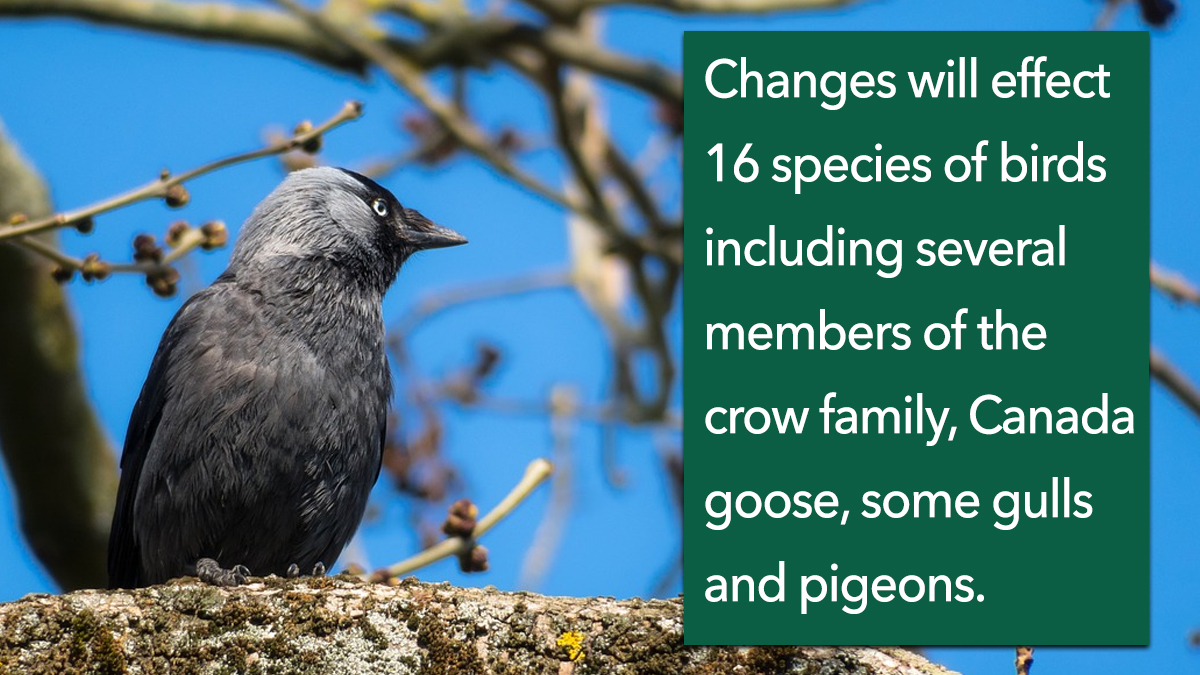 Changes will effect 16 species of birds including several members of the crow family, Canada goose, some gulls and pigeons