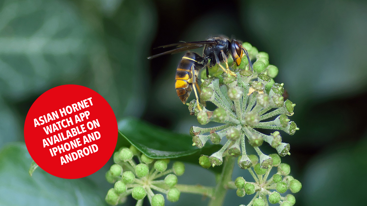 Asian hornet sighted in south hampshire news image