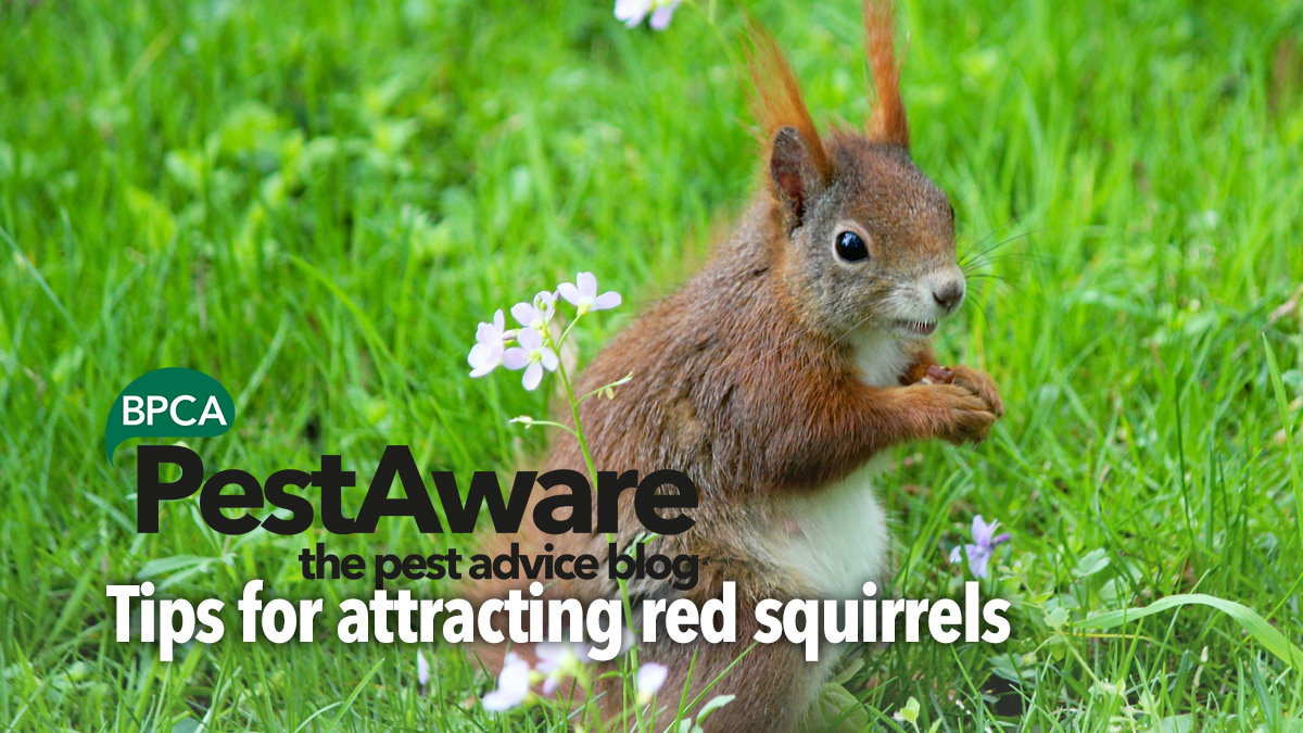 PestAware Tips for Attracting Red Squirrels