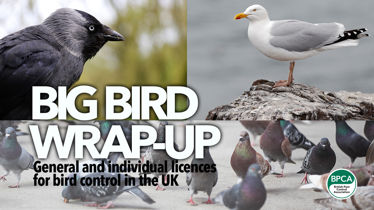 big bird wrap up bird licence bpca