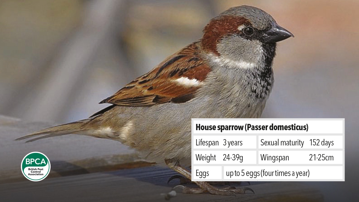 Controling and managing pest House sparrow Passer domesticus