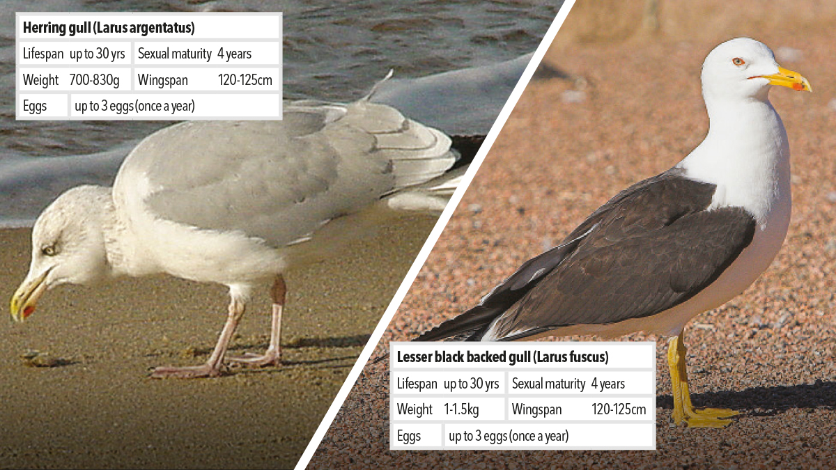 Controlling and managing Family Laridae sea gull pest