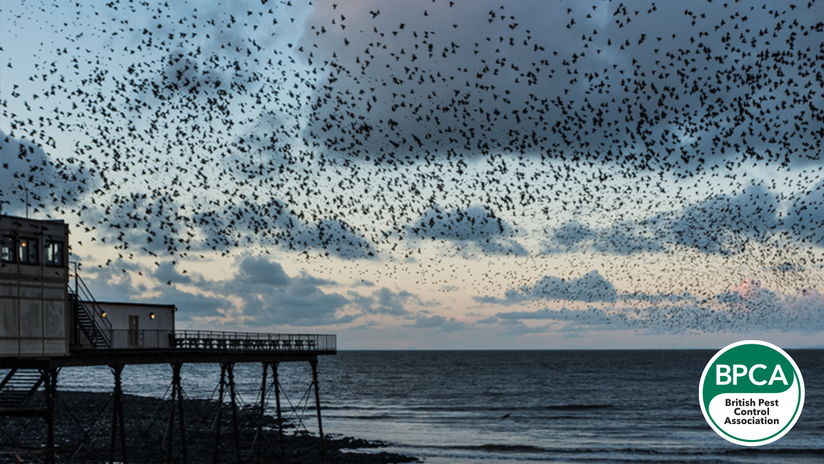 Aberystwyth Pier is the site of one of the best known Starling murmurations, as during the winter large groups fly in at dusk from the surrounding countryside to roost under the pier, with the total number of birds in the 10,000s.