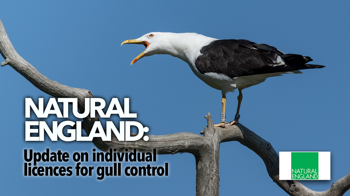 natural england gull control 2