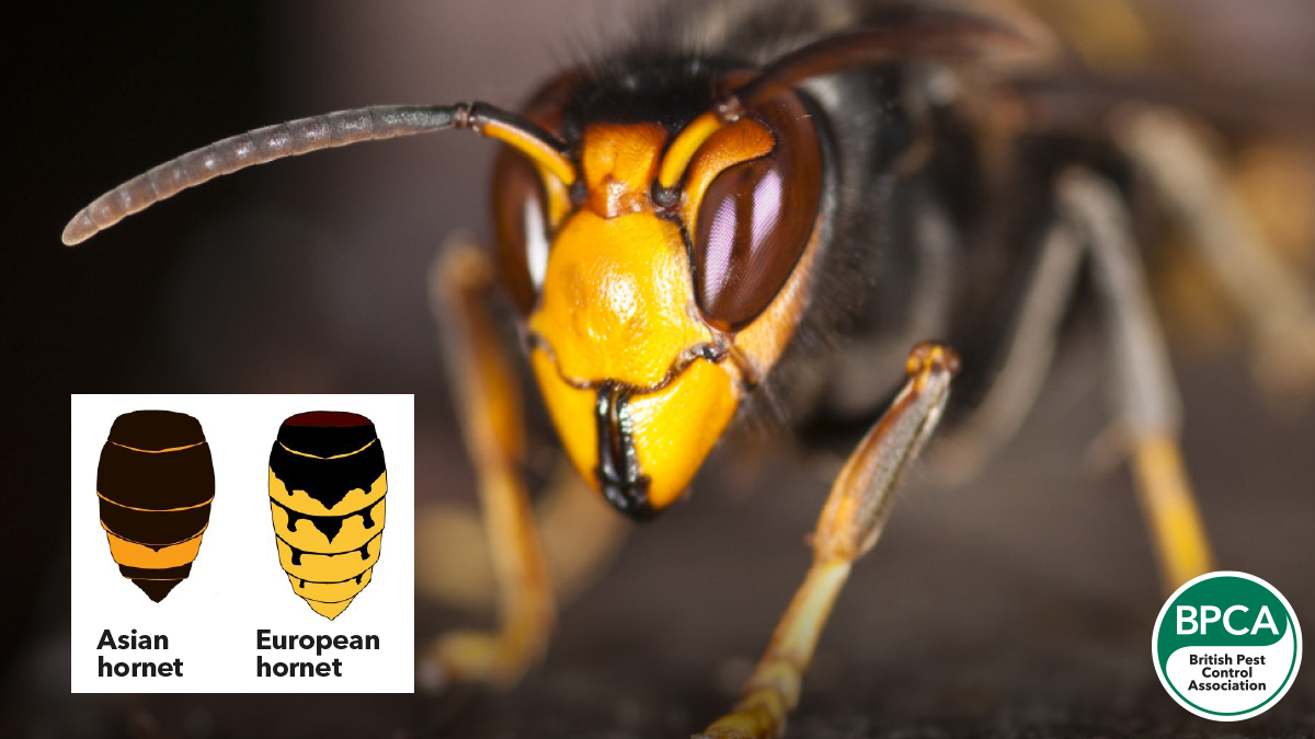 Asian hornets in the UK comparison to European Hornets and their colourings