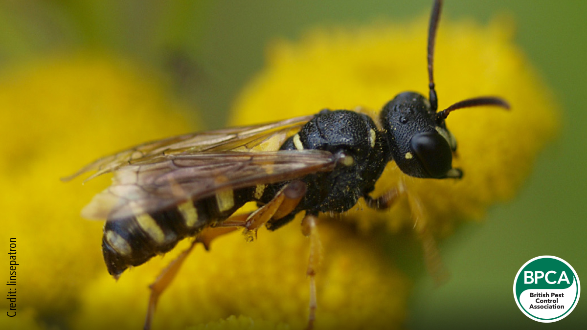 Digger wasp Sphecidae identification in the UK