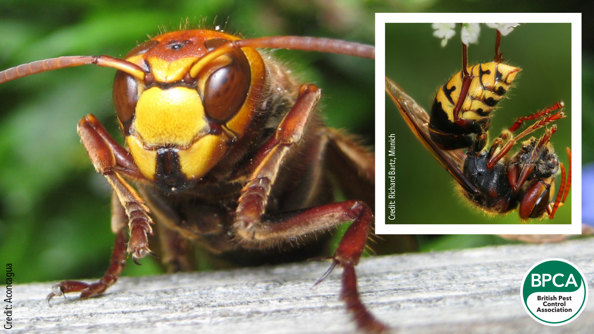 European hornets Vespa crabro control in the UK identification