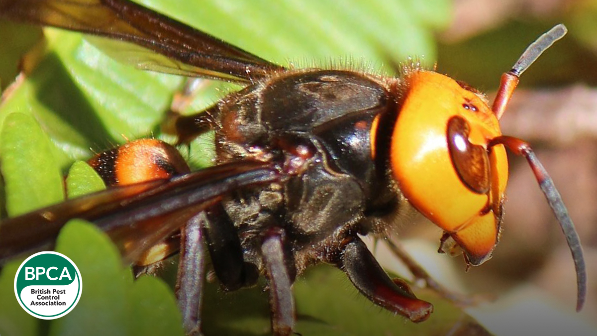 Giant asian hornet murder hornet never reported in the UK