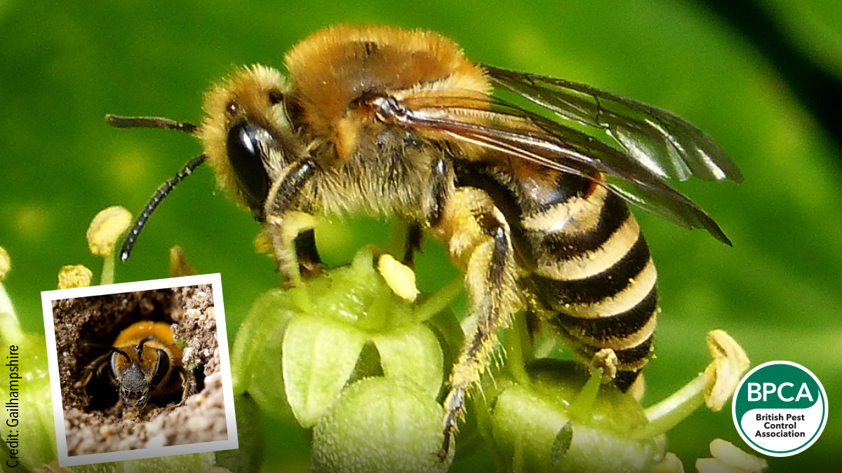 Ivy bee Colletes hederae identification in the UK