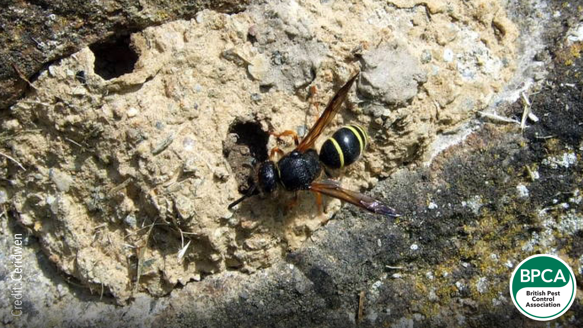 Mason or Potter wasp Eumeninae identification in the Uk