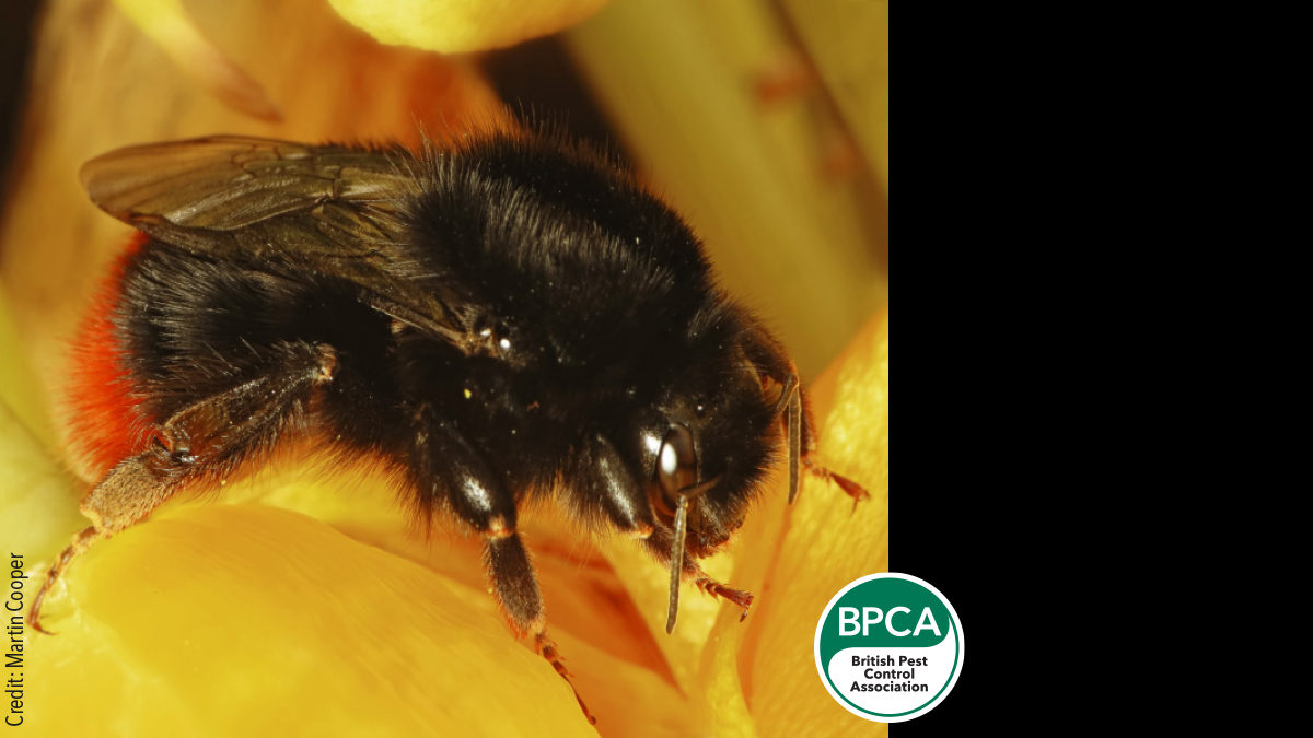 Red-tailed bumblebee (Bombus lapidarius) identification in the UK
