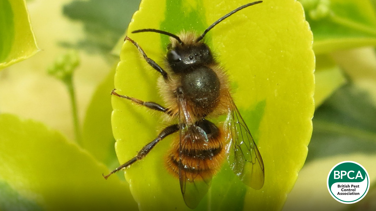 Red mason bee Osmia bicornis identification in the UK
