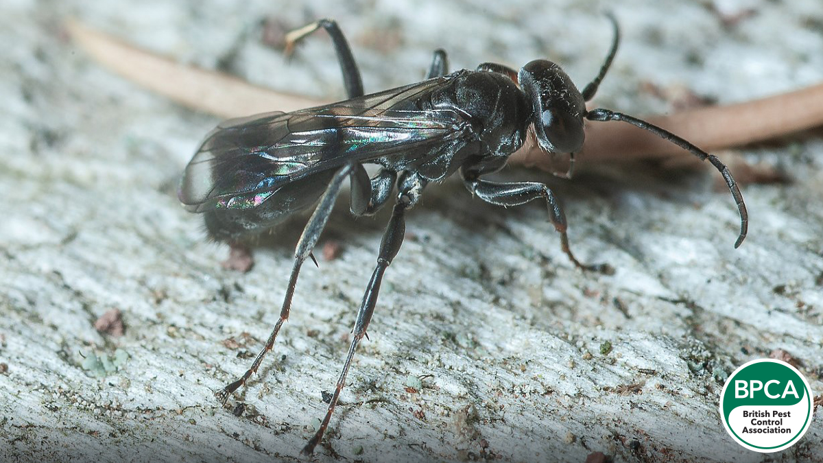 Spider wasp Pompilidae identification in the UK