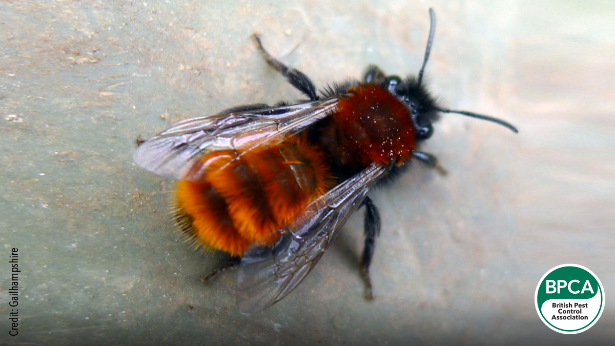 Tawny mining bee Andrena fulva Idnetification UK