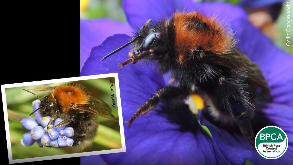 Tree bumblebee Bombus hypnorum identification in the UK