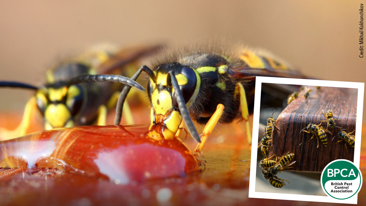 Wasps feeding from sugary fruit and wasps on the table german and common pests