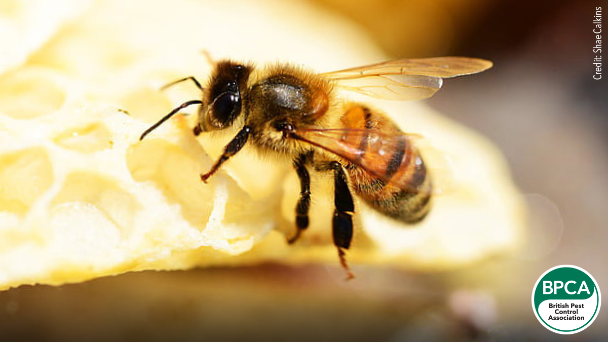 Western honey bee Apis mellifera identification in the UK