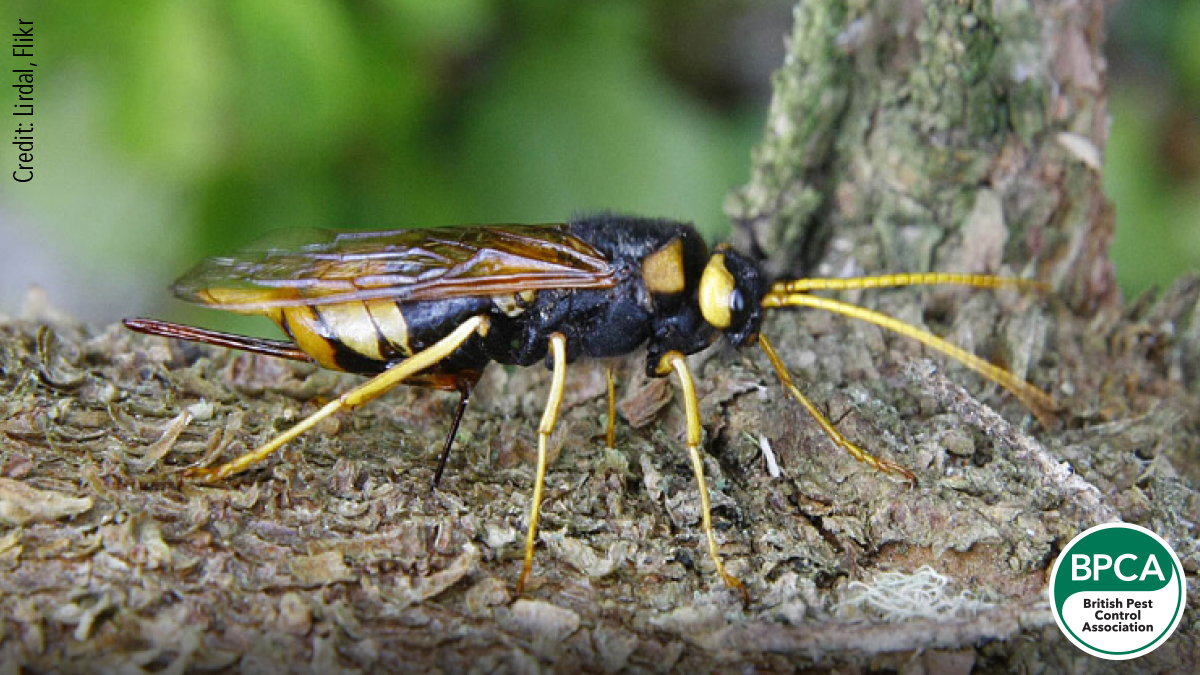 Wood wasp Siricidae giant horntail identification UK