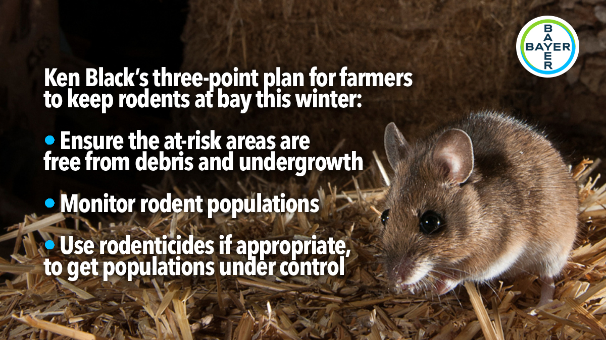 farmers-warned-to-protect-straw=from-rodents