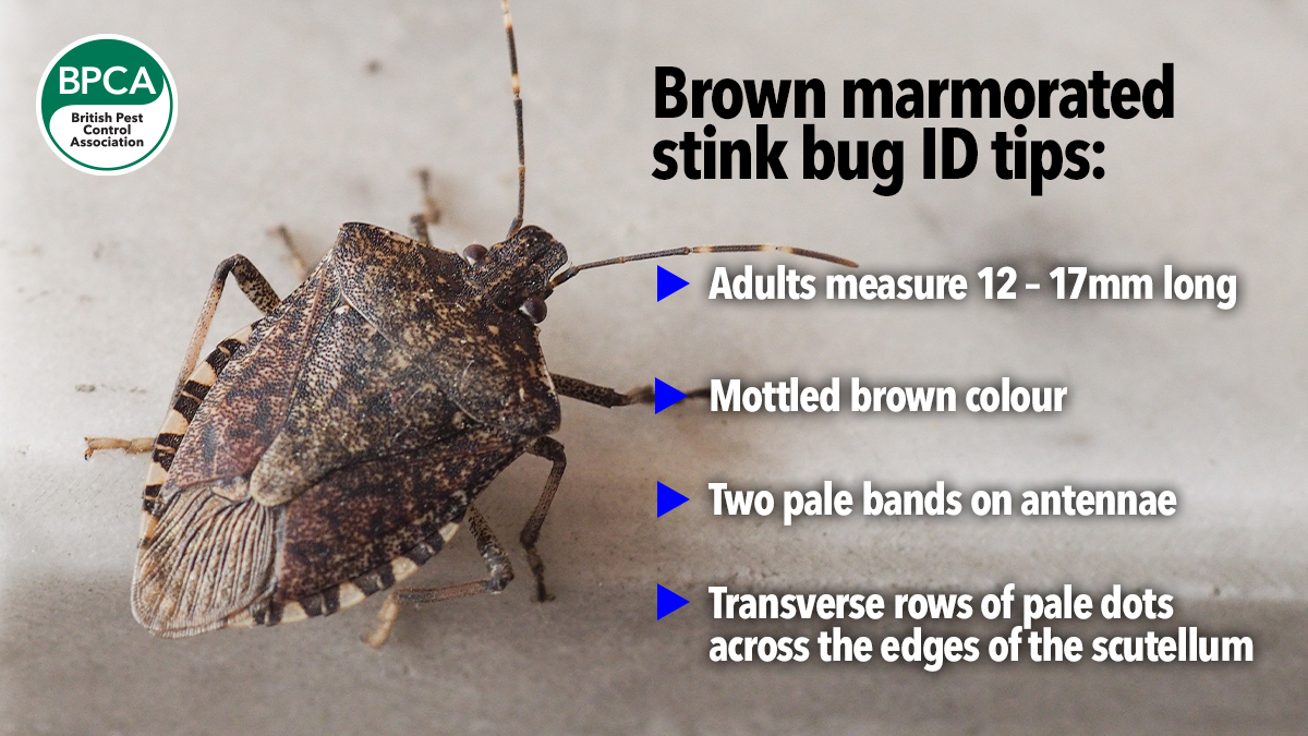 530 brown-marmorated-stink-bug-sighting3