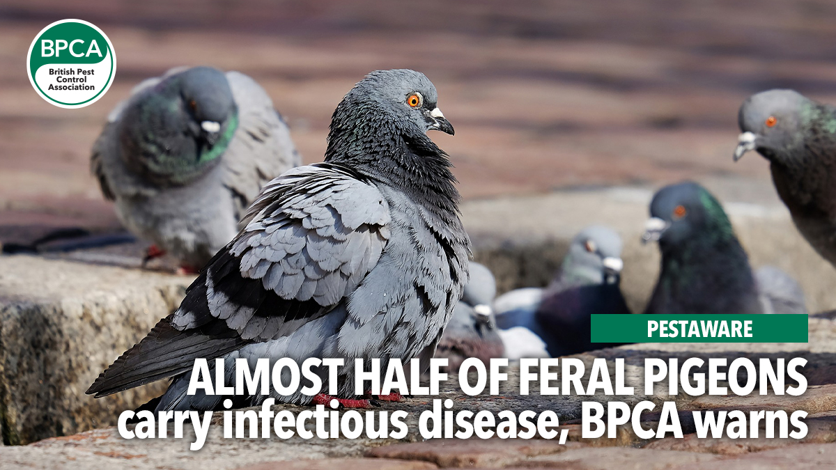 pestaware-feral-pigeons-carry-disease