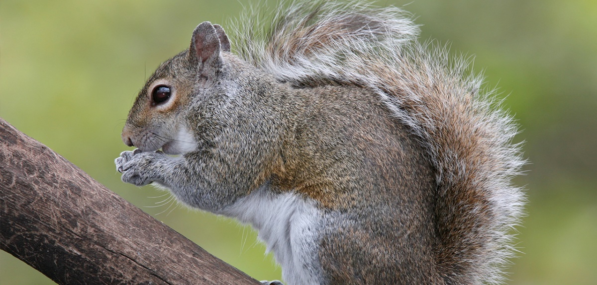 A grey squirrel 'on the nuts if you please' (image: CC BirdPhotos.com)