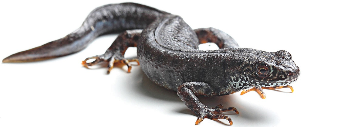 Newts and their development page over 100 years old