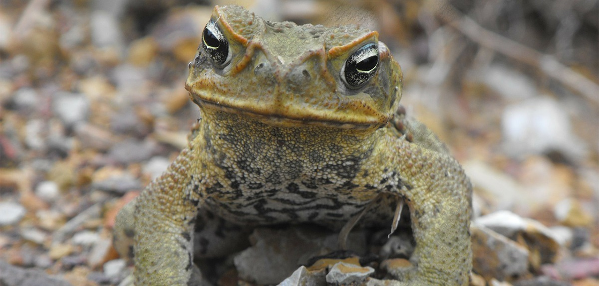 cane-toad-crop