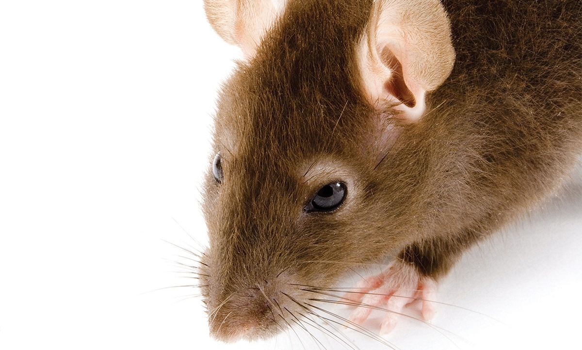House mice pesticide resistance