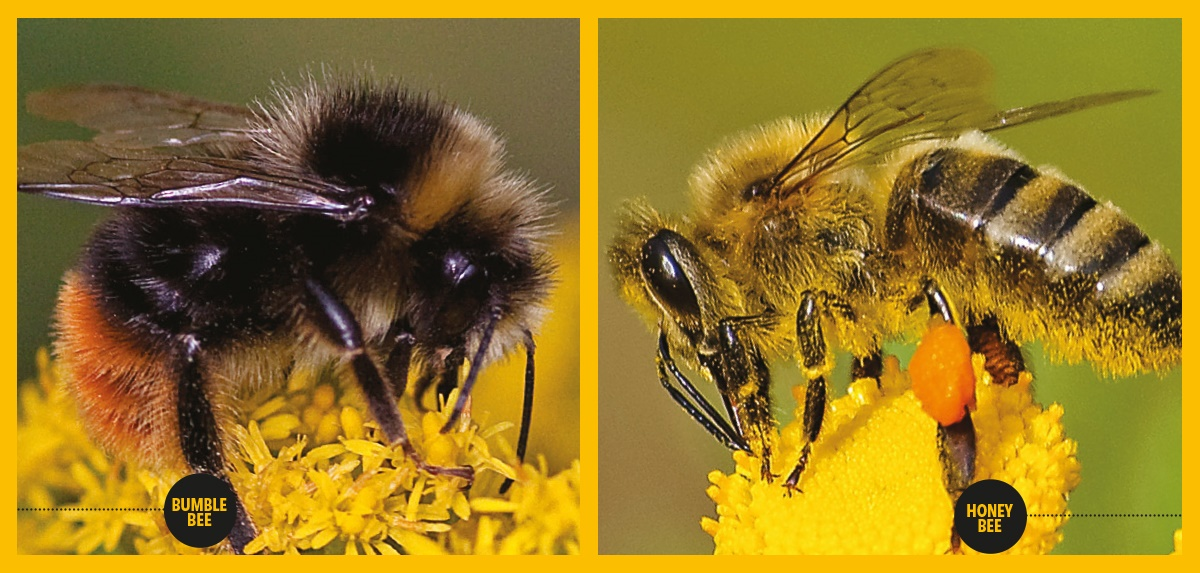 Bumble bee vs Honey Bee