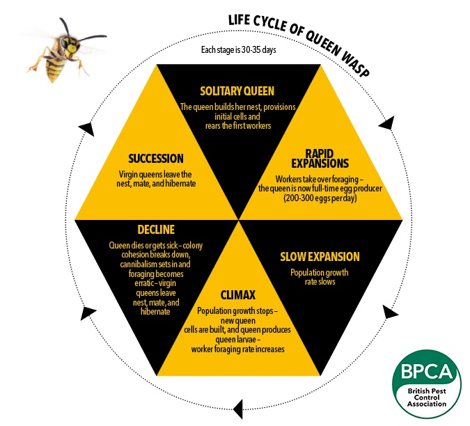 Life cycle of a Queen Wasp
