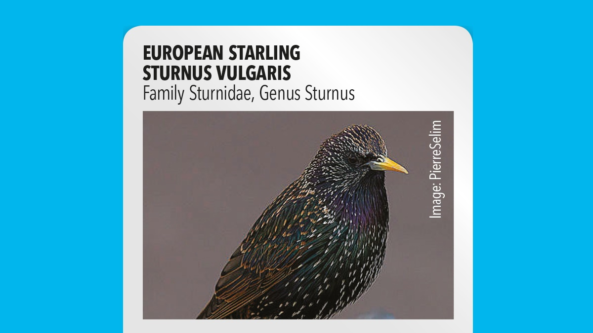European starling Sturnus vulgaris