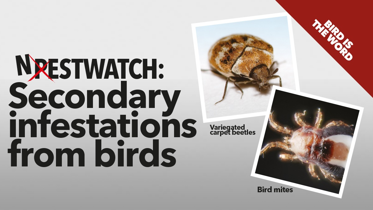 Secondary infestations from birds